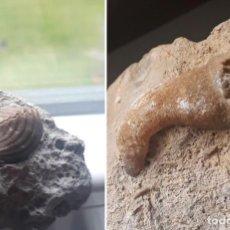 Coleccionismo de fósiles: CORAL Y BIVALVO . PERÍODO CRETÁCICO. FÓSIL.. Lote 254959505