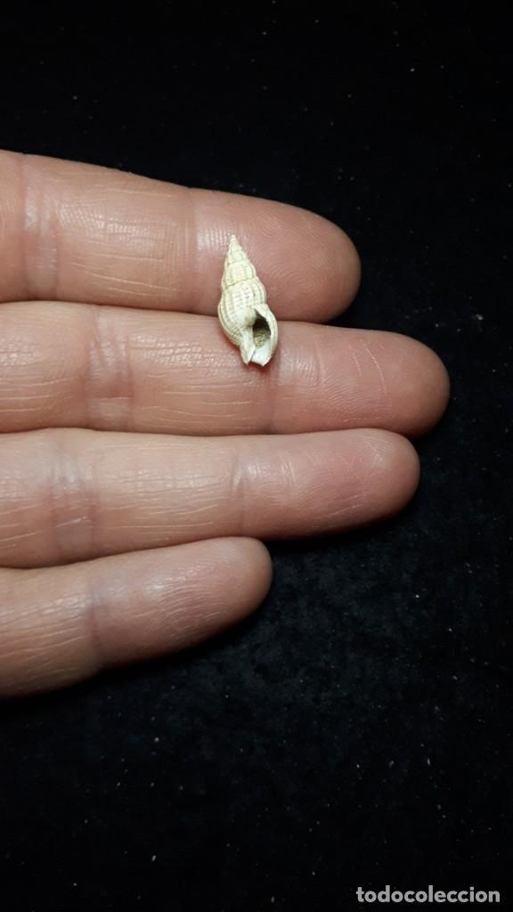 Coleccionismo de fósiles: Fosil- Gasteropodo Nassa Clathrata - Mioceno - Foto 2 - 255925150