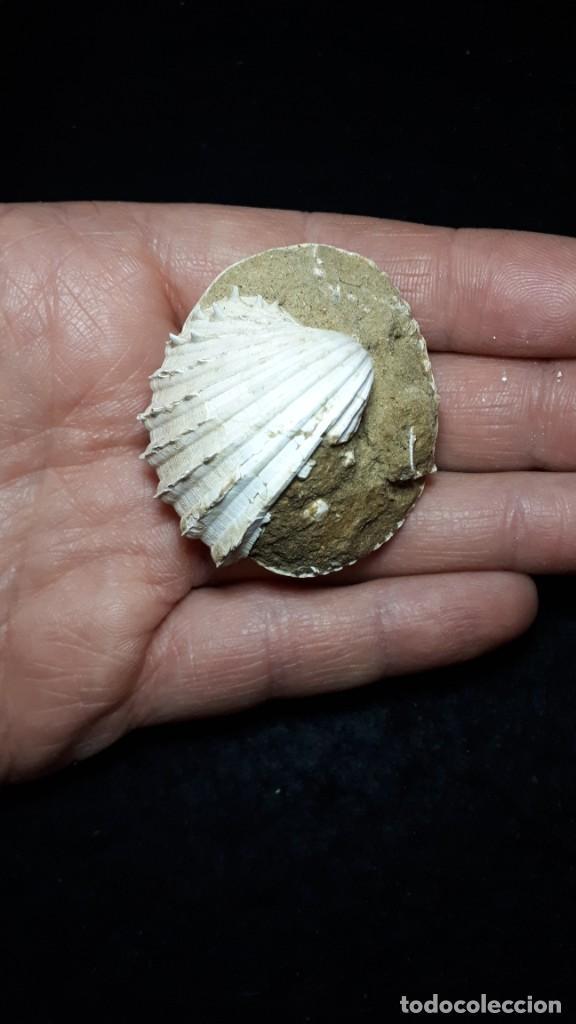 Coleccionismo de fósiles: Fosil- Bivalvo Glycymeris Insubrica sobre acanthocardia paucicostata- Plioceno - Foto 2 - 235305285