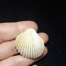 Coleccionismo de fósiles: FOSIL- BIVALVO 2 CARDIUM SAUCATSENSE - MIOCENO. Lote 260490885