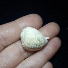 Coleccionismo de fósiles: FOSIL- GASTEROPODO FICULA CONDITA - MIOCENO. Lote 260493180