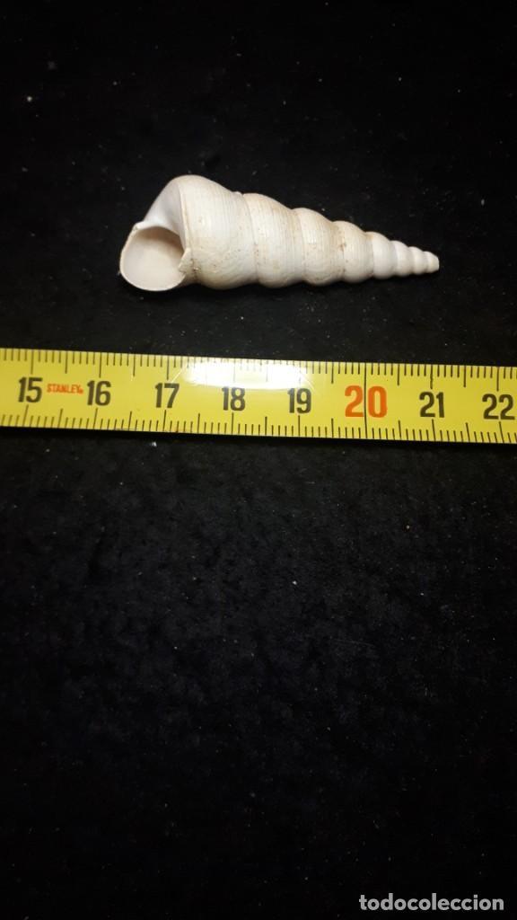 Coleccionismo de fósiles: Fosil- Gasteropodo Turritella Terebralis - Mioceno - Foto 2 - 260503400