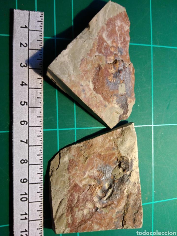 Coleccionismo de fósiles: TRILOBITES FOSIL STRENUELLA SAMPELAYOI. CAMBRICO. EUROPA. - Foto 3 - 261114045