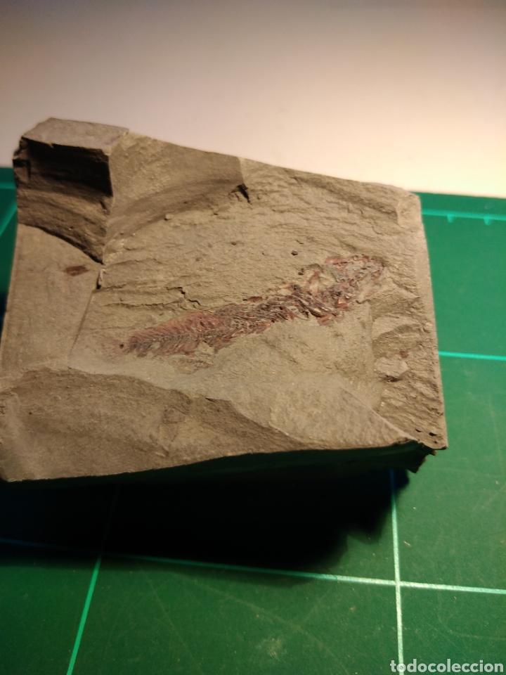 Coleccionismo de fósiles: PEZ FOSIL APHANIUS CRASSICAUDATUM. PLIOCENO. ITALIA - Foto 2 - 261115090