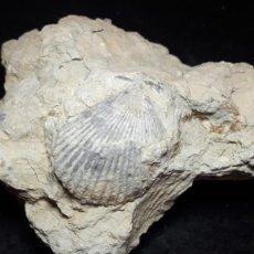 Coleccionismo de fósiles: FOSIL- BIVALVO CHLAMYS BIARRITZENSIS - EOCENO. Lote 231977165