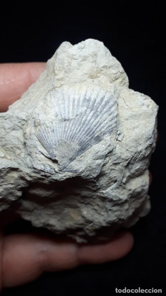 Coleccionismo de fósiles: Fosil- Bivalvo Chlamys Biarritzensis - Eoceno - Foto 2 - 231977165