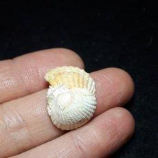 Coleccionismo de fósiles: FOSIL- BIVALVO CARDIUM SP - MIOCENO. Lote 182011500