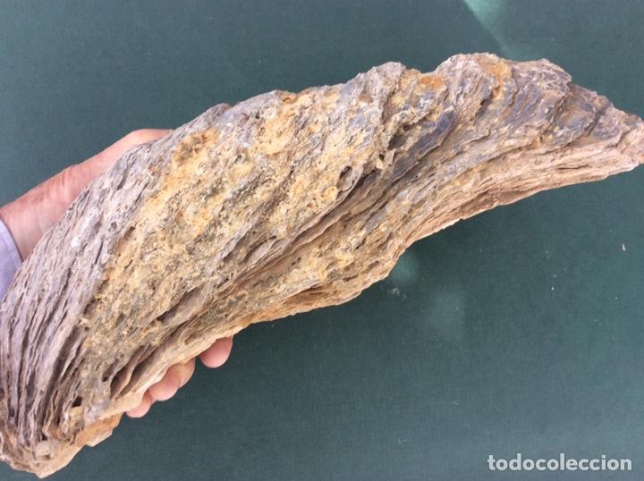 Coleccionismo de fósiles: FÓSIL DE OSTRA GIGANTE - Foto 3 - 262044445