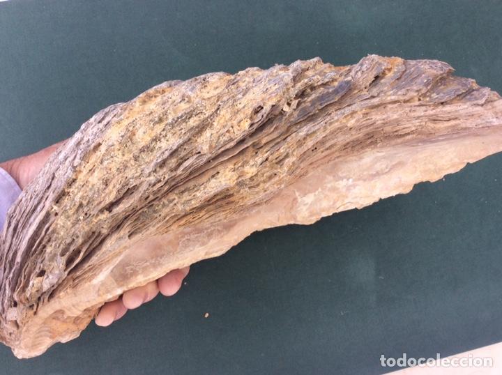 Coleccionismo de fósiles: FÓSIL DE OSTRA GIGANTE - Foto 4 - 262044445