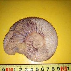Coleccionismo de fósiles: AMMONITES PARAGARANTIANA SP.. Lote 262092140