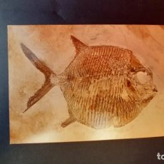 Coleccionismo de fósiles: LOTE AB. POSTAL GYRODUS MUSEUM BERGER HARTHOF EICHSTATT. Lote 262452140