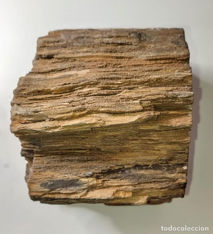 Coleccionismo de fósiles: Tronco de Secuoya. Europa. 100 m.a. - Foto 5 - 262844175