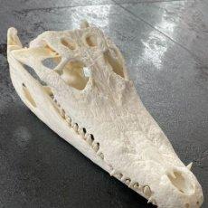 Coleccionismo de fósiles: CRÁNEO DE COCODRILO DEL NILO (COCODRYLUS NILOTICUS). Lote 262978755