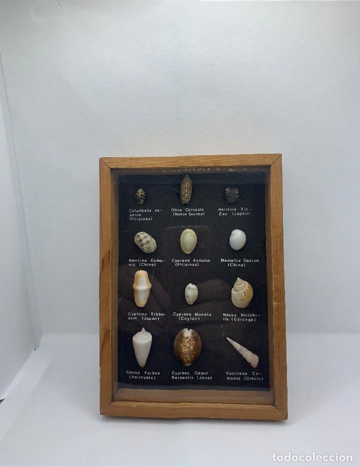 Coleccionismo de fósiles: 474.BONITO CUADRO EXPOSITOR DE CONCHAS DE VARIOS PAISES DEL MUNDO - Foto 3 - 262982980