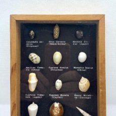 Coleccionismo de fósiles: 474.BONITO CUADRO EXPOSITOR DE CONCHAS DE VARIOS PAISES DEL MUNDO. Lote 262982980