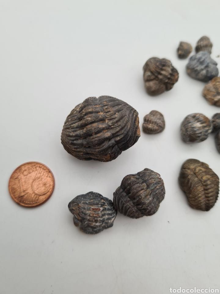 38 FOSILES TRILOBITES (Coleccionismo - Fósiles)