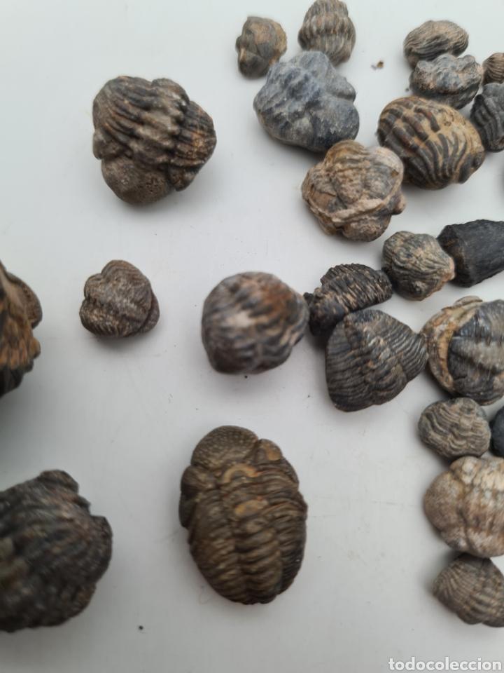 Coleccionismo de fósiles: 38 Fosiles Trilobites - Foto 6 - 262961475