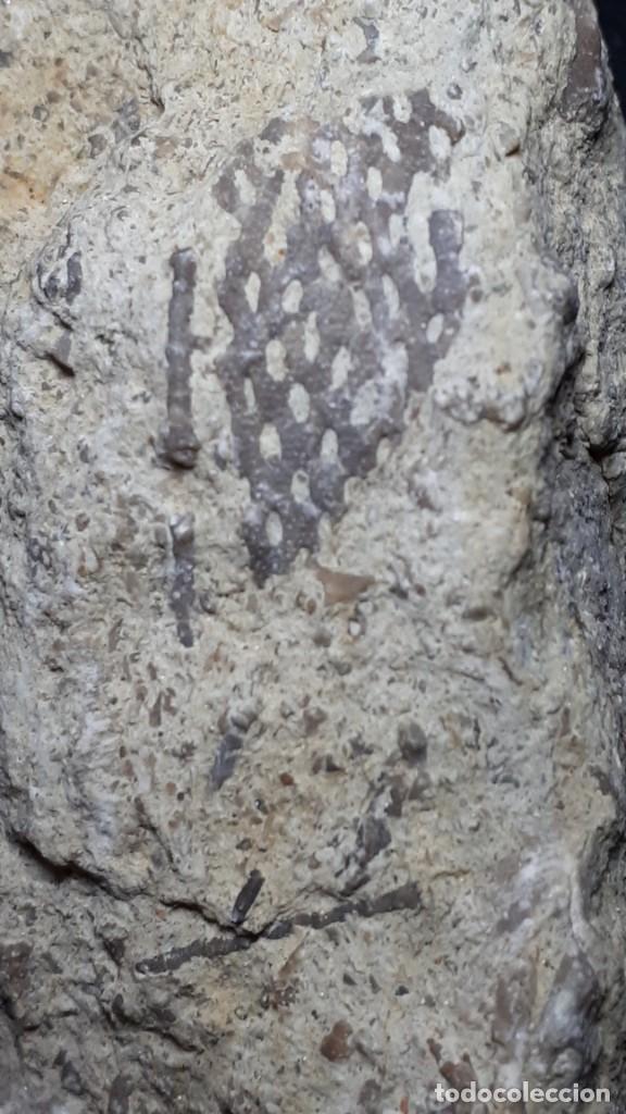 Coleccionismo de fósiles: Fosil- Briozoo Membranipora irregularis - Eoceno - Foto 3 - 231976625