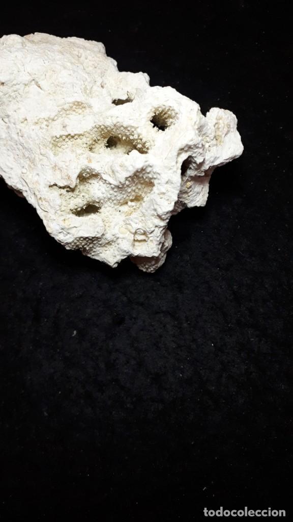 Coleccionismo de fósiles: Fosil- coral fosil Acropora - Mioceno - Foto 4 - 211921877