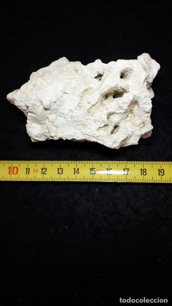 Coleccionismo de fósiles: Fosil- coral fosil Acropora - Mioceno - Foto 6 - 211921877