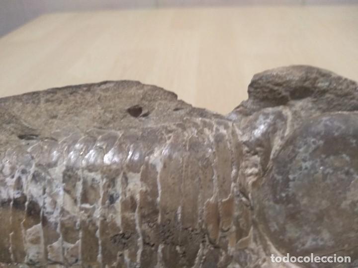 Coleccionismo de fósiles: Pareja fósiles - Foto 9 - 268286144