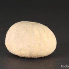 Coleccionismo de fósiles: RARO Y PATOLÓGICO, MICROPEDINA OLISIPONENSIS, EQUINOIDEO FÓSIL REGULAR, CRETÁCICO/CENOMANIENSE. Lote 268809559