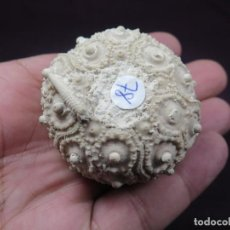 Coleccionismo de fósiles: PRECIOSO,NATURAL, PARACIDARIS ( P.) FLORIGEMMA CON RADIOLA , OXFORDIENSE DE MEUSE , (55) FRANCIA. Lote 269359608