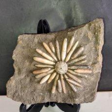 Coleccionismo de fósiles: ERIZO DE MAR FÓSIL - EN MATRIZ CON MULTITUD DE RADIOLAS - GYMNOCIDARIS KOECHLINI. Lote 271935893