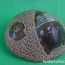 Coleccionismo de fósiles: GONIATITES Y ORTHOCERAS EN EL MISMO SEDIMENTO DEVÓNICO. 100X90X40 MM.. Lote 275051898