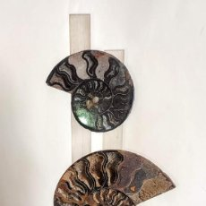 Coleccionismo de fósiles: AMMONITES GRANDES Y HERMOSAS - SECCIÓN ENMARCADA Y SOPORTE DE MADERA - DESMOCERAS. Lote 276028243