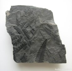 Coleccionismo de fósiles: FÓSIL DE HELECHOS. PERIODO CARBONÍFERO.. Lote 276229083