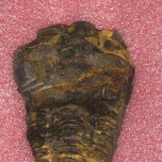 Coleccionismo de fósiles: FÓSIL II DE TRILOBITES FLEXICALYMENE DEL ORDOVÍCICO, PARCIALMENTE EN MATRIZ. INN. Lote 276436583