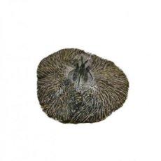 Coleccionismo de fósiles: IMPRESIONANTE FOSIL DE UN TRILOBITE CYPHASPIS, 400 MM DE AÑOS.. Lote 276463513