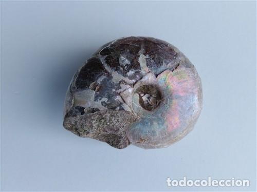 ESPECTACULAR FÓSIL DE NAUTILÓIDE NACARADO, DE ESPECIAL BELLEZA . (Coleccionismo - Fósiles)