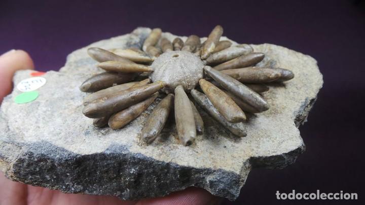 Coleccionismo de fósiles: Gymnocidaris atchanensis (VADET,NICOLLEAU & REBOUL,2010) Calidad Excelente - Foto 4 - 277195288