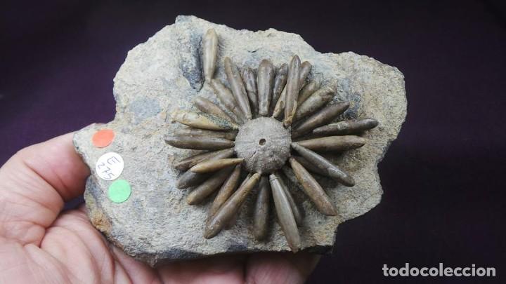 Coleccionismo de fósiles: Gymnocidaris atchanensis (VADET,NICOLLEAU & REBOUL,2010) Calidad Excelente - Foto 5 - 277195288