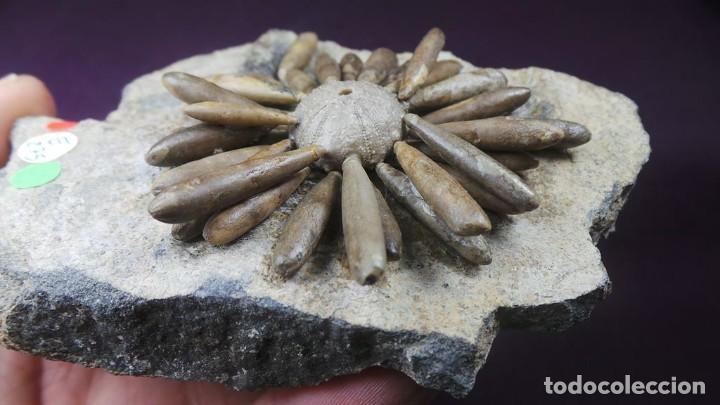 Coleccionismo de fósiles: Gymnocidaris atchanensis (VADET,NICOLLEAU & REBOUL,2010) Calidad Excelente - Foto 8 - 277195288