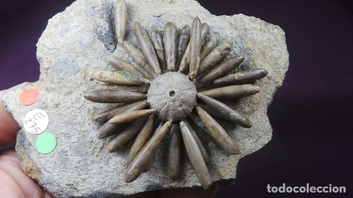 Coleccionismo de fósiles: Gymnocidaris atchanensis (VADET,NICOLLEAU & REBOUL,2010) Calidad Excelente - Foto 9 - 277195288