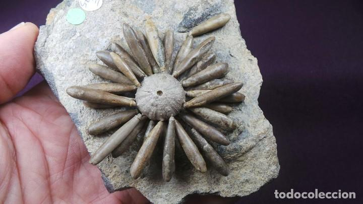 Coleccionismo de fósiles: Gymnocidaris atchanensis (VADET,NICOLLEAU & REBOUL,2010) Calidad Excelente - Foto 10 - 277195288