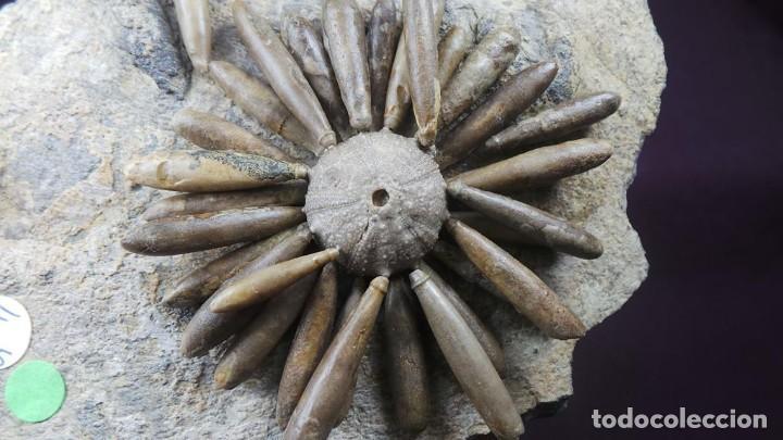 Coleccionismo de fósiles: Gymnocidaris atchanensis (VADET,NICOLLEAU & REBOUL,2010) Calidad Excelente - Foto 17 - 277195288