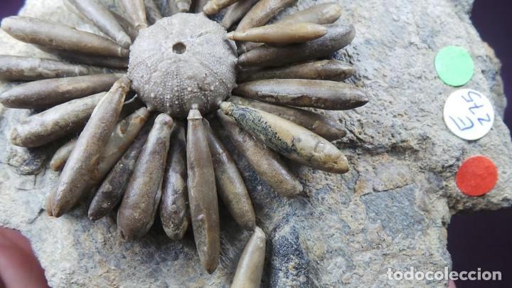 Coleccionismo de fósiles: Gymnocidaris atchanensis (VADET,NICOLLEAU & REBOUL,2010) Calidad Excelente - Foto 18 - 277195288