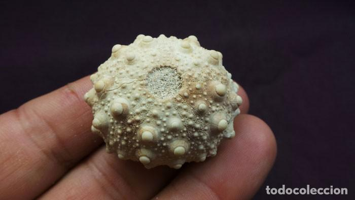 Coleccionismo de fósiles: Heterocentrotus mammillatus(LINNAEUS, 1758) Calidad Excelente - Foto 10 - 277195543