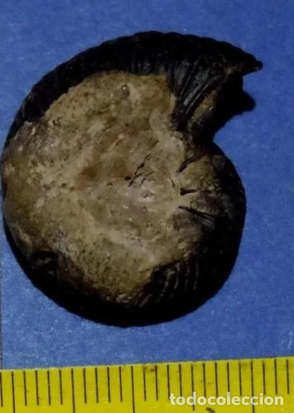 Coleccionismo de fósiles: Ammonites Quenstedtoceras Messiaeni, del Jurásico Calloviense. - INN - Foto 2 - 278508998