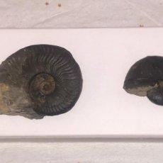 Coleccionismo de fósiles: DOS BONITOS FOSILES DE AMONITAS SIN CÁSCARA, DE INUSUAL UBICACIÓN- HARPOCERAS & PHYLLOCERAS -INN -AB. Lote 158883714
