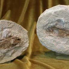 Coleccionismo de fósiles: PEZ FÓSIL, THARRIAS ARARIPIS, CRETÁCEO INFERIOR, FACIES POSITIVA Y NEGATIVA, 175 MM.. Lote 287268203