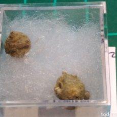 Coleccionismo de fósiles: FOSIL DE GYRTOCOELUA BEEDI. CARBONIFERO. USA.. Lote 288921218