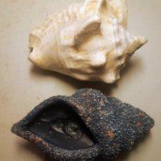 Coleccionismo de fósiles: CARACOLA NATURAL 11 CM LARGO X 9 ANCHO PESA 400 G. OTRA ARTIFICIAL (GASTOS ENVÍO GRATIS). Lote 289367373