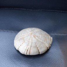 Coleccionismo de fósiles: ERIZO FÓSIL ECHINOLAMPAS AFFINIS. Lote 289704338