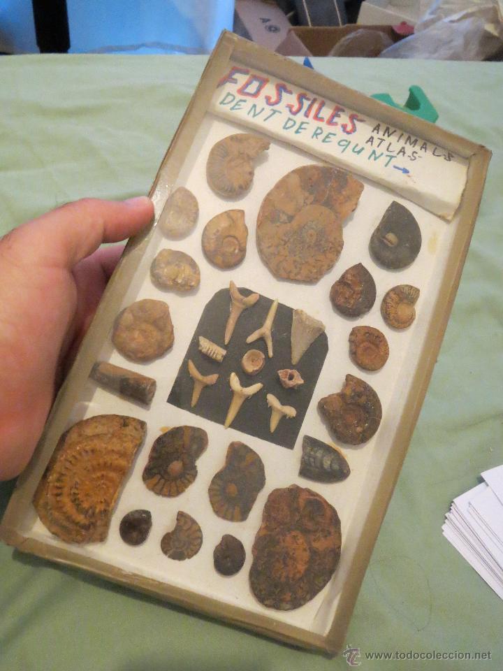 COLECCION DE FOSILES, CARACOLAS Y DIENTES (Coleccionismo - Mineralogía - Otros)
