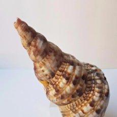 Coleccionismo de minerales: CARACOLA DE MAR MUY GRANDE, PERFECTO ESTADO . Lote 93727265